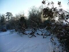 Mulberry tree in the snow, Christmas Day 2010